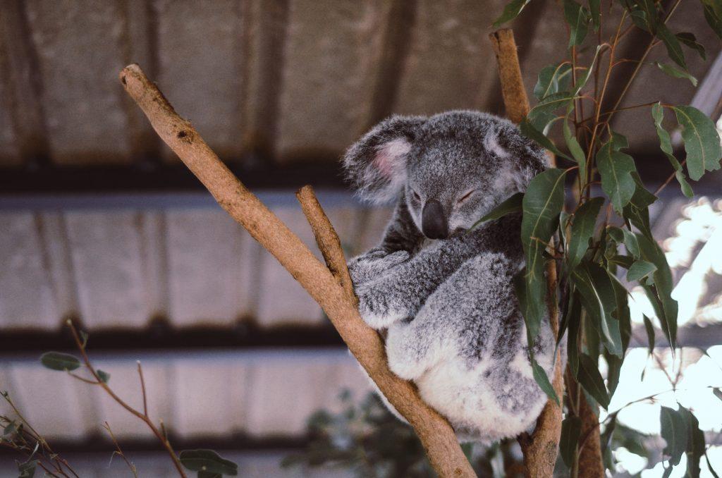 Un koala qui dort dans un arbre en Australie